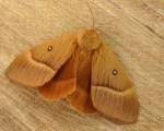 Eichenspinner (Lasiocampa quercus)