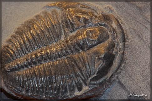 Elrathia (kingii) aus dem mittleren Kambrium vor 507 Mio. Jahren