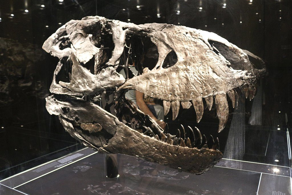 Tristans Original-Schädel - der besterhaltenste Schädel eines T-Rex überhaupt