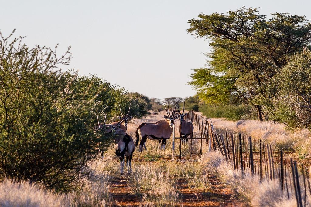 Herde Oryx